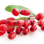 barberry-epine-vinette-fruit